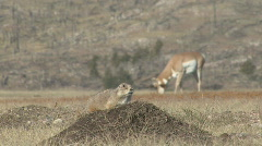 P00724 Prairie Dog with Pronghorn Antelope - stock footage