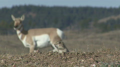 P00725 Black-tailed Prairie Dog and Pronghorn Antelope - stock footage