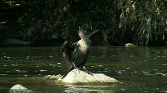 Double Crested Cormorant Spreading Wings Stock Footage