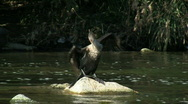 Stock Video Footage of Double Crested Cormorant Spreading Wings