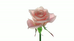 "Rotating ""Medeo"" rose isolated on white endless loop 2 Stock Footage"