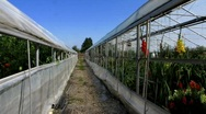 Tomatoes plantation in greenhouse Stock Footage
