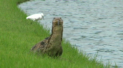 Monitor Lizard And White Bird Stock Footage