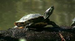 Turtle Sunning On Log Stock Footage