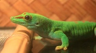 Green gecko Stock Footage