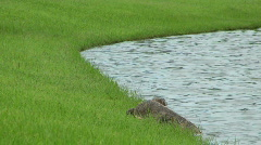 Monitor Lizard Cooling Off In A Pond Stock Footage