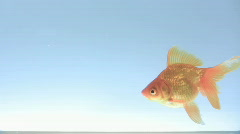 Gold fish in the tank Stock Footage