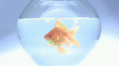 Stock Video Footage of Swimming Gold Fish