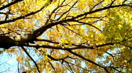 Brilliant colors of autumn - pan camera Stock Footage