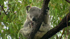 Koala in moving branch Stock Footage