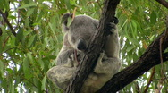 Stock Video Footage of Koala in moving branch