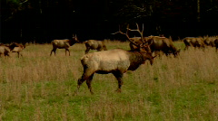 Bull Elk Approaches Stock Footage