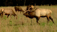 Stock Video Footage of Bull Elk Approaches