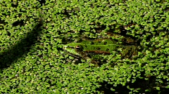 Frog in duckweed pond Stock Footage