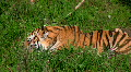 Siberian tiger eating meat 1 Footage