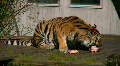 Siberian tiger eating meat in a zoo 3 HD Footage