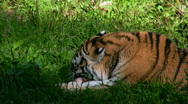 Siberian tiger eating meat in a zoo 4 Stock Footage