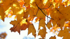 Gold Leaves 4 Stock Footage