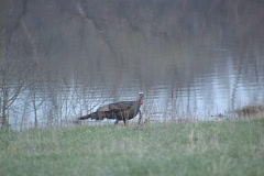 Wild Turkey  Stock Footage