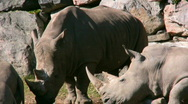 Stock Video Footage of White Rhinoceros 1
