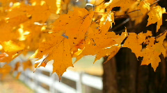 Gold Leaves 2 Stock Footage