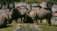 Stock Video Footage of White Rhinoceros 2