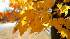 Gold  Leaves  1 Stock Footage