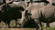 Stock Video Footage of White Rhinoceros 3