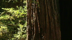 Redwood Tree size perspective Stock Footage