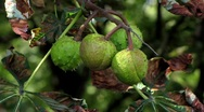 Stock Video Footage of Chestnuts ripening on tree