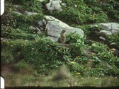 Groundhog (vintage 8 mm amateur film) Stock Footage