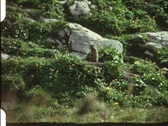 Groundhog (vintage 8 mm amateur film) Stock Footage
