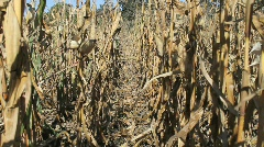 Row of dead corn stalks Stock Footage