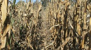 Stock Video Footage of Row of dead corn stalks