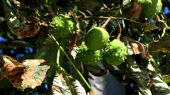 Chestnuts ripening on tree Stock Footage