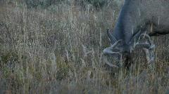 Buck Deer in velvet antlers P HD 2688 - stock footage