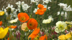 Orange poppies swaying in the wind - stock footage