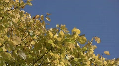 Yellow autumn elm leaves (Ulmus sp.) swaying in the wind against the blue sky  Stock Footage