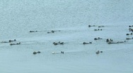 Large group of sea otters swim away Stock Footage