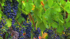 Ripe Vineyard Grapevines - stock footage
