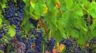 Ripe Vineyard Grapevines Stock Footage