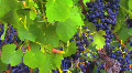 Ripe Grapevines Footage