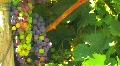 Vineyard Wine Grapes Footage