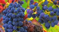 Beautiful Ripe Wine Grapes Footage