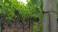 VINEYARD GRAPE VINES Footage