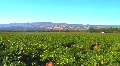 Napa Valley Vineyard HD Footage