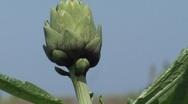 Tilt up to reveal a globe artichoke Stock Footage