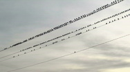Birds On Wire Stock Footage