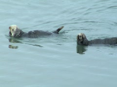 Two sea otters swim out of frame Stock Footage