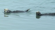 Stock Video Footage of Two sea otters swim out of frame
